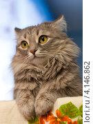 Портрет дымчатой кошки. Стоковое фото, фотограф Маргарита Волгина / Фотобанк Лори