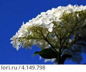 Соцветие белой древовидной гортензии на фоне синего неба. Стоковое фото, фотограф Евгений Мухортов / Фотобанк Лори