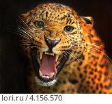 Купить «Портрет леопарда с оскаленной пастью на чёрном фоне», фото № 4156570, снято 14 октября 2012 г. (c) Эдуард Кислинский / Фотобанк Лори