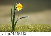 Нарцисс. Стоковое фото, фотограф Ирина Свириденко / Фотобанк Лори