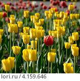 Тюльпаны. Стоковое фото, фотограф Башарин Алексей / Фотобанк Лори