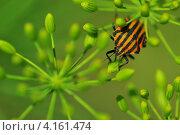 Яркий жук. Стоковое фото, фотограф Елена Конькова / Фотобанк Лори