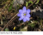 Купить «Печёночница благородная», фото № 4162206, снято 23 апреля 2011 г. (c) Анна Маркова / Фотобанк Лори