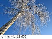 Береза в серебре. Стоковое фото, фотограф Татьяна Фролова / Фотобанк Лори