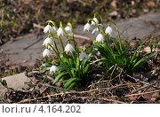 Белоцветник весенний. Стоковое фото, фотограф Анна Маркова / Фотобанк Лори