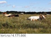 Луг с коровами. Стоковое фото, фотограф Artem Chechkenev / Фотобанк Лори