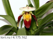 Орхидея башмачок - американский гибрид. Стоковое фото, фотограф Александр Масалев / Фотобанк Лори