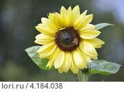 Подсолнух с пчелой. Стоковое фото, фотограф Татьяна Фелпс / Фотобанк Лори