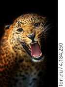 Купить «Портрет леопарда на тёмном фоне», фото № 4184250, снято 14 октября 2012 г. (c) Эдуард Кислинский / Фотобанк Лори