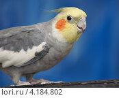 Купить «Попугай корелла», эксклюзивное фото № 4184802, снято 7 января 2013 г. (c) Dmitry29 / Фотобанк Лори