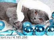 Купить «Красивый британский кот», фото № 4185266, снято 15 декабря 2012 г. (c) Останина Екатерина / Фотобанк Лори
