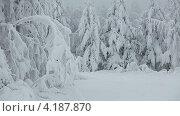Купить «Хвойные деревья, покрытые снегом», видеоролик № 4187870, снято 12 января 2013 г. (c) Кекяляйнен Андрей / Фотобанк Лори