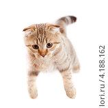 Купить «Игривый котенок породы скотиш фолд в прыжке», фото № 4188162, снято 2 апреля 2011 г. (c) Андрей Кузьмин / Фотобанк Лори