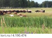 Купить «Стадо баранов на летнем лугу», фото № 4190474, снято 3 июля 2011 г. (c) Юлия Машкова / Фотобанк Лори