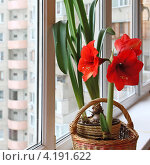 Купить «Цветущий гиппеаструм на окне», фото № 4191622, снято 20 декабря 2012 г. (c) Олеся Сарычева / Фотобанк Лори