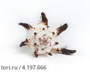 Морская ракушка на белом фоне. Стоковое фото, фотограф Сергей Лукин / Фотобанк Лори