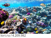 Купить «Рыбы и кораллы Красного моря. Египет, Африка», фото № 4209982, снято 8 сентября 2012 г. (c) Vitas / Фотобанк Лори