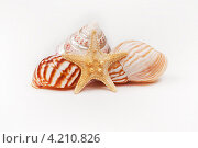 Композиция из морской звезды и раковин на белом фоне. Стоковое фото, фотограф Сергей Лукин / Фотобанк Лори