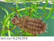 Купить «Личинка стрекозы (Libellula depressa)», фото № 4216914, снято 22 сентября 2012 г. (c) Забалуев Игорь Анатолич / Фотобанк Лори