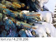 Купить «Веточки голубой ели зимой. Крупный план, маленькая глубина резкости», фото № 4218206, снято 19 января 2013 г. (c) Сергей Трофименко / Фотобанк Лори