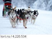 Купить «Собачья упряжка», фото № 4220534, снято 20 января 2013 г. (c) yeti / Фотобанк Лори