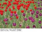 Купить «Сортовые садовые красные и фиолетовые тюльпаны в грунте (малая глубина резкости)», фото № 4227942, снято 16 апреля 2008 г. (c) Ольга Липунова / Фотобанк Лори