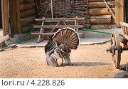 Купить «Индюк (Meleagris gallopavo) распустил перья на птичьем дворе», эксклюзивное фото № 4228826, снято 3 июля 2011 г. (c) Алёшина Оксана / Фотобанк Лори