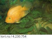 Рыбка в аквариуме. Стоковое фото, фотограф Елена Скрипина / Фотобанк Лори