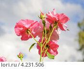 Розовая роза. Стоковое фото, фотограф Алёшина Оксана / Фотобанк Лори