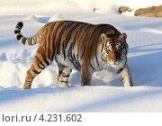 Купить «Амурский тигр в Московском зоопарке», эксклюзивное фото № 4231602, снято 26 апреля 2008 г. (c) Дмитрий Неумоин / Фотобанк Лори