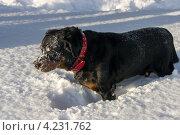 Ротвейлер зимой. Стоковое фото, фотограф ФЕДЛОГ / Фотобанк Лори