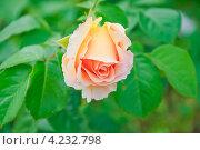 Распускающаяся роза. Стоковое фото, фотограф Алёшина Оксана / Фотобанк Лори
