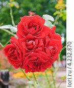 Красные розы. Стоковое фото, фотограф Алёшина Оксана / Фотобанк Лори
