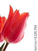 Красные тюльпаны с каплями воды. Стоковое фото, фотограф Андрей Дыкун / Фотобанк Лори