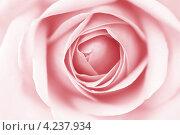 Купить «Розовая роза крупным планом», фото № 4237934, снято 12 марта 2009 г. (c) Иван Михайлов / Фотобанк Лори
