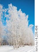 Купить «Берёзы покрытые инеем на фоне голубого неба», эксклюзивное фото № 4239494, снято 26 января 2013 г. (c) Игорь Низов / Фотобанк Лори