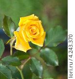 Купить «Желтая роза (rosa)», эксклюзивное фото № 4243370, снято 21 августа 2011 г. (c) Алёшина Оксана / Фотобанк Лори