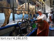Купить «Дойка коров  на молочной ферме», фото № 4246610, снято 20 июля 2012 г. (c) yeti / Фотобанк Лори
