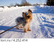 Маленькая собачка на поводке на зимней прогулке. Стоковое фото, фотограф Елена Фомичева / Фотобанк Лори