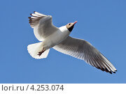 Купить «Летящая чайка», фото № 4253074, снято 1 июля 2011 г. (c) Юрий Викулин / Фотобанк Лори