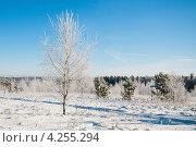 Купить «Зимний пейзаж с берёзой, покрытой инеем, на фоне голубого неба», эксклюзивное фото № 4255294, снято 26 января 2013 г. (c) Игорь Низов / Фотобанк Лори