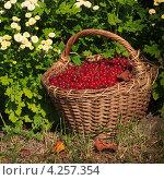 Ягоды красной смородины в плетеной корзине на фоне цветов. Стоковое фото, фотограф Николай Овечко / Фотобанк Лори