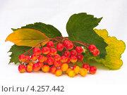 Гроздь ягод поспевающей калины с желтеющими листьями. Стоковое фото, фотограф Николай Овечко / Фотобанк Лори