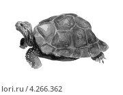 Черно-белый акварельный рисунок черепахи. Стоковая иллюстрация, иллюстратор Ковалева Наталья / Фотобанк Лори