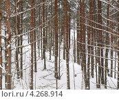 Купить «Сосновый лес зимой», фото № 4268914, снято 8 декабря 2019 г. (c) Алексей Кокоулин / Фотобанк Лори