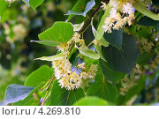 Купить «Цветущая липа», фото № 4269810, снято 24 июня 2012 г. (c) Яков Филимонов / Фотобанк Лори