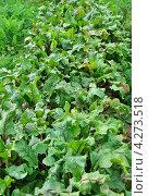 Купить «Грядка свёклы», эксклюзивное фото № 4273518, снято 17 августа 2012 г. (c) Алёшина Оксана / Фотобанк Лори