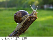 Большая виноградная улитка ползет. Стоковое фото, фотограф Елена Фомичева / Фотобанк Лори