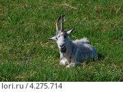 Купить «Домашняя коза (лат. Capra aegagrus hircus)», эксклюзивное фото № 4275714, снято 13 июня 2009 г. (c) lana1501 / Фотобанк Лори