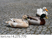 Три утки на брусчатой мостовой. Стоковое фото, фотограф Юлия Бабкина / Фотобанк Лори